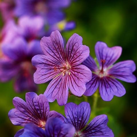 Герань Rosemoor фото