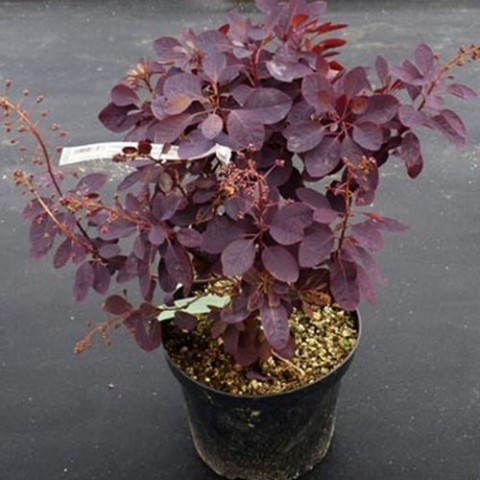 Скумпія Royal Purple фото