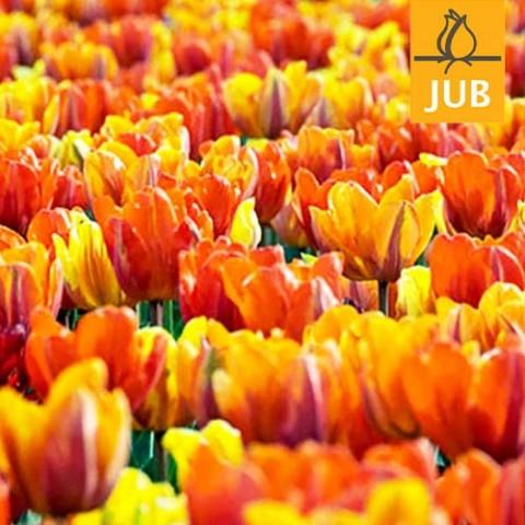 Мікс ландшафтний Royals (Брендові цибулини Jub Holland) фото