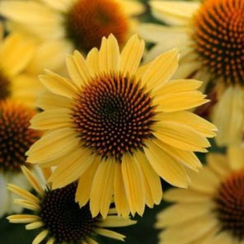 Ехінацея Sandy Yellow фото