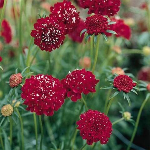 Скабіоза Deep Red фото