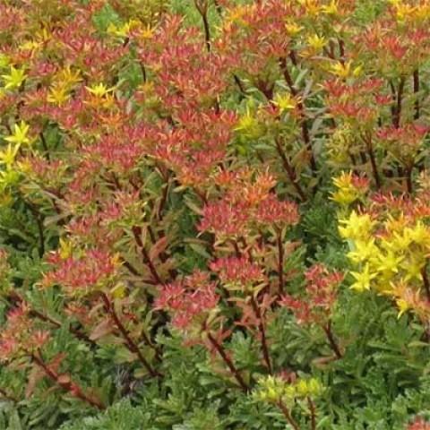 Седум Middendorfianum фото