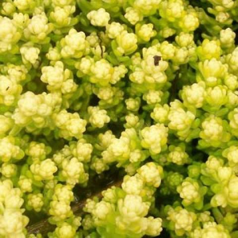 Седум Yellow Queen фото