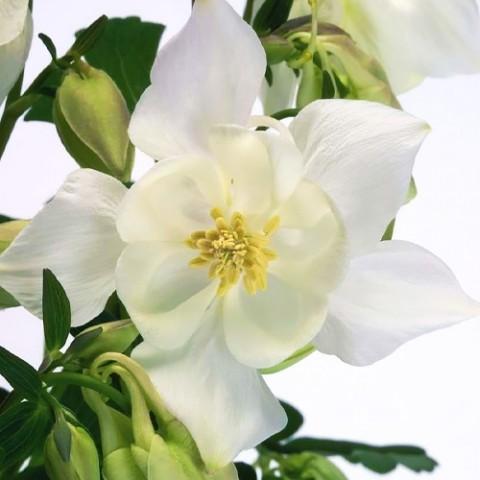 Аквілегія Spring Magic White фото