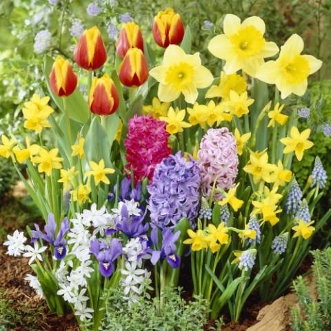 Весняний МЕГА-МІКС (35 цибулин) фото