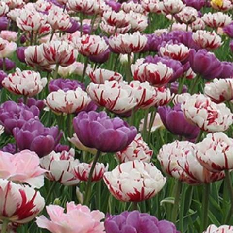 Мікс ландшафтний Spring Peonies фото
