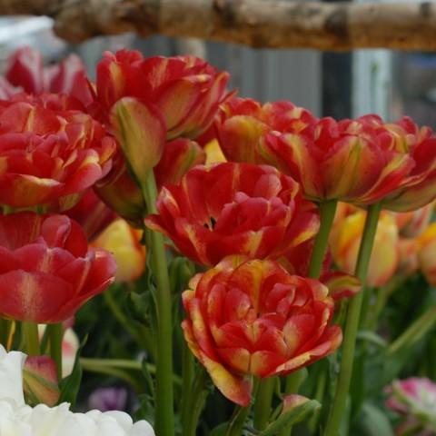 Тюльпан Sundowner фото