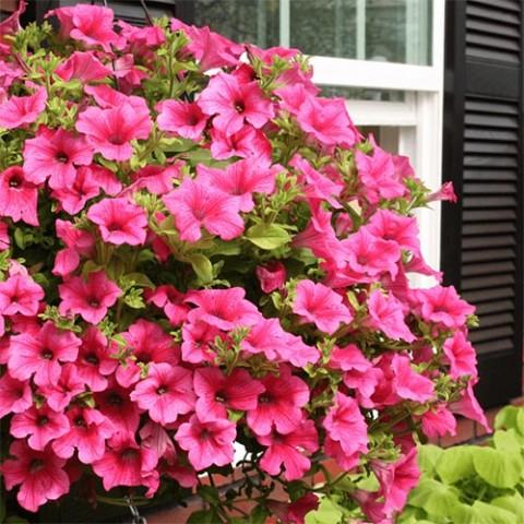 Сурфінія Hot Pink фото