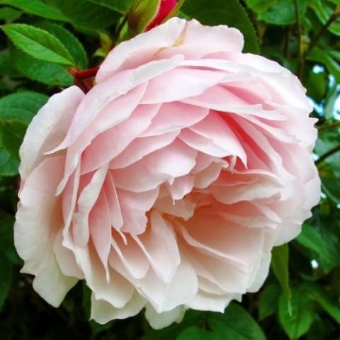 Троянда Generous Gardener (плетиста) фото