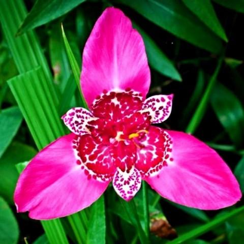 Тігрідія Lilacea фото