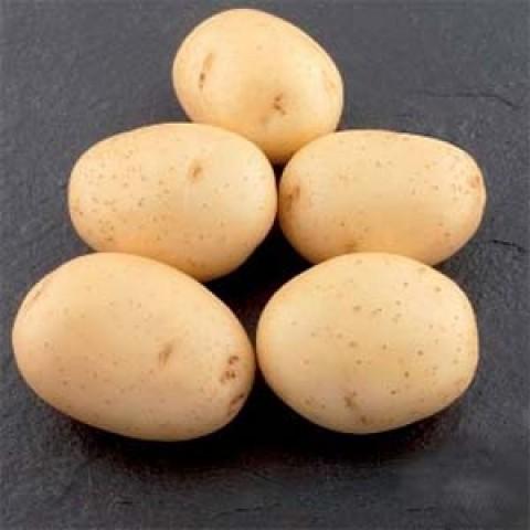 Картопля Евора фото