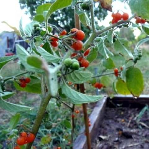 Помідор Orange Berry фото