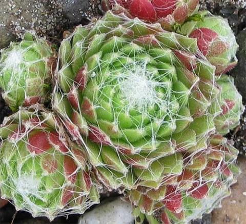 Камяна троянда Tomentosum фото