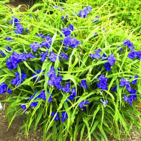 Традесканція Zwanenburg Blue фото