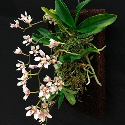 Панелі для орхідей Tree Fern (30,5 x 15,2 x 2,5 см.) фото