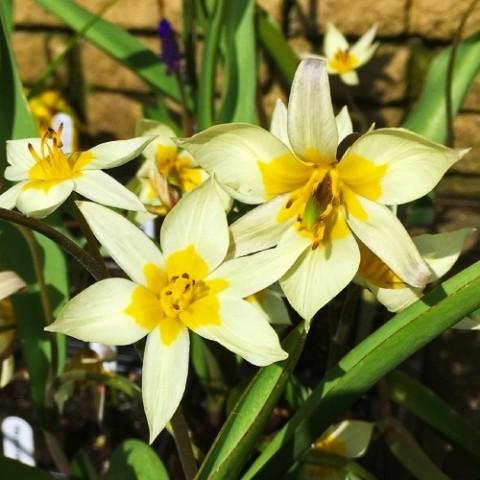 Тюльпан Turkestaniсa фото