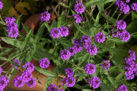 Вербена Homestead Purple фото