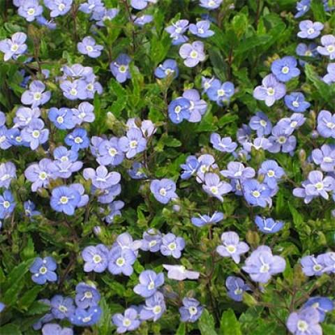 Вероніка Georgia Blue фото