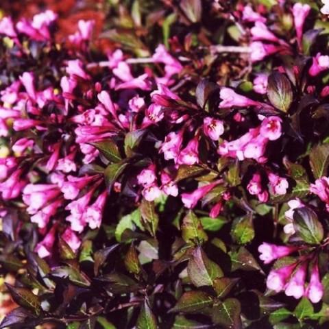 Вейгела Nana Purpurea фото