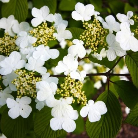 Калина Plicatum Cascade фото