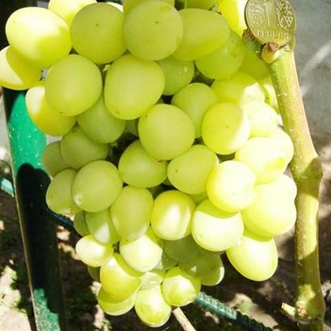 Виноград Аркадія фото