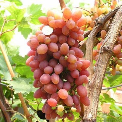 Виноград  Кишмиш Променистий фото