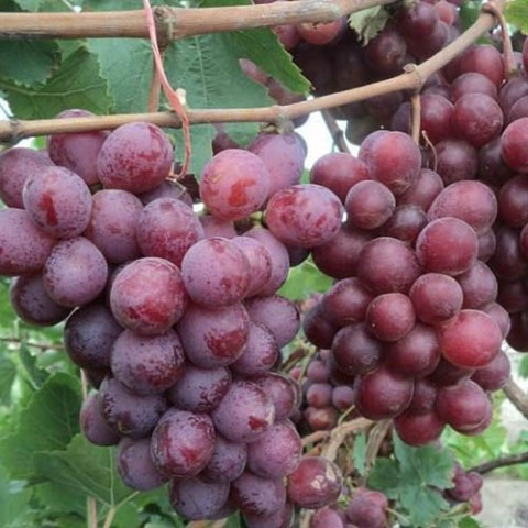 Виноград Ред Глоуб фото