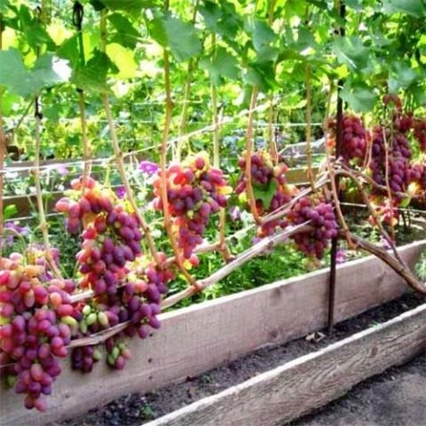 Виноград Різамат фото