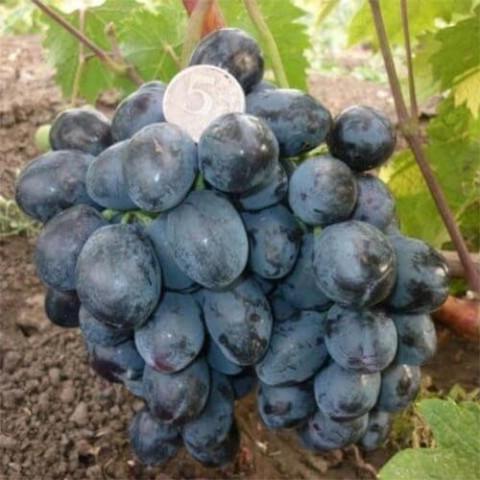 Виноград Руслан фото