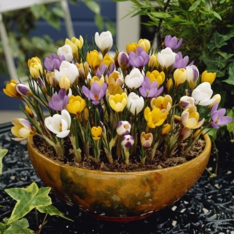 Крокус Ботанічний Мікс фото