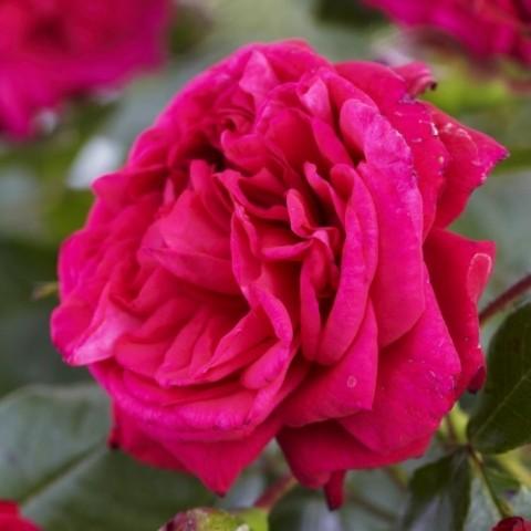 Троянда Laguna фото