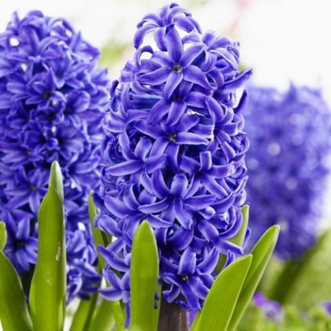 Гіацинт Blue Pearl фото