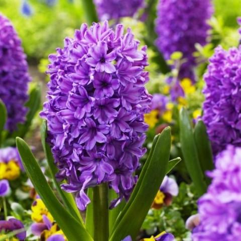 Гіацинт Purple Voice фото