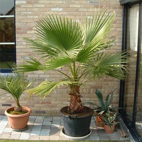 Пальма Вашингтонія фото