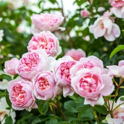 Троянда Wildeve фото