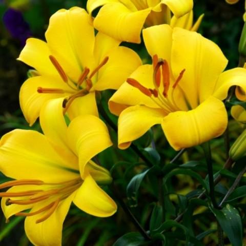 Лілія Yellow Planet фото