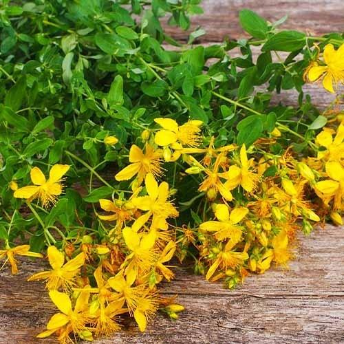 Звіробій - купити насіння в Україні за низькою ціною | FLORIUM.UA
