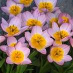 Купити - Тюльпан Bakeri Lilac Wonder