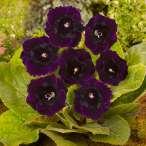 Купити - Глоксінія Violacea