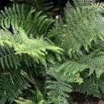 Купити - Папороть niponicum Wollastonii