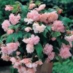 Купити - Бегонія Cascade Pink 25