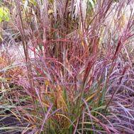Міскантус Purple Fall фото
