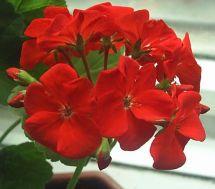 Пеларгонія зональна червона фото