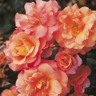 Троянда Freisinger Morgenrote фото