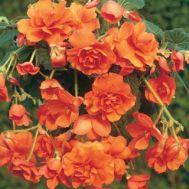 Бегонія Cascade Orange фото