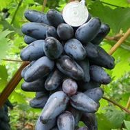 Виноград Одеський сувенір фото