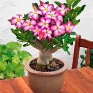Пустельна Троянда Anouk фото