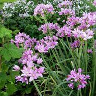 Алліум Unifolium фото