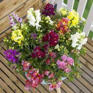 Антірінум (Левовий зів) Floral Showers Mix фото