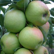 Яблуня колоновидна Едем фото